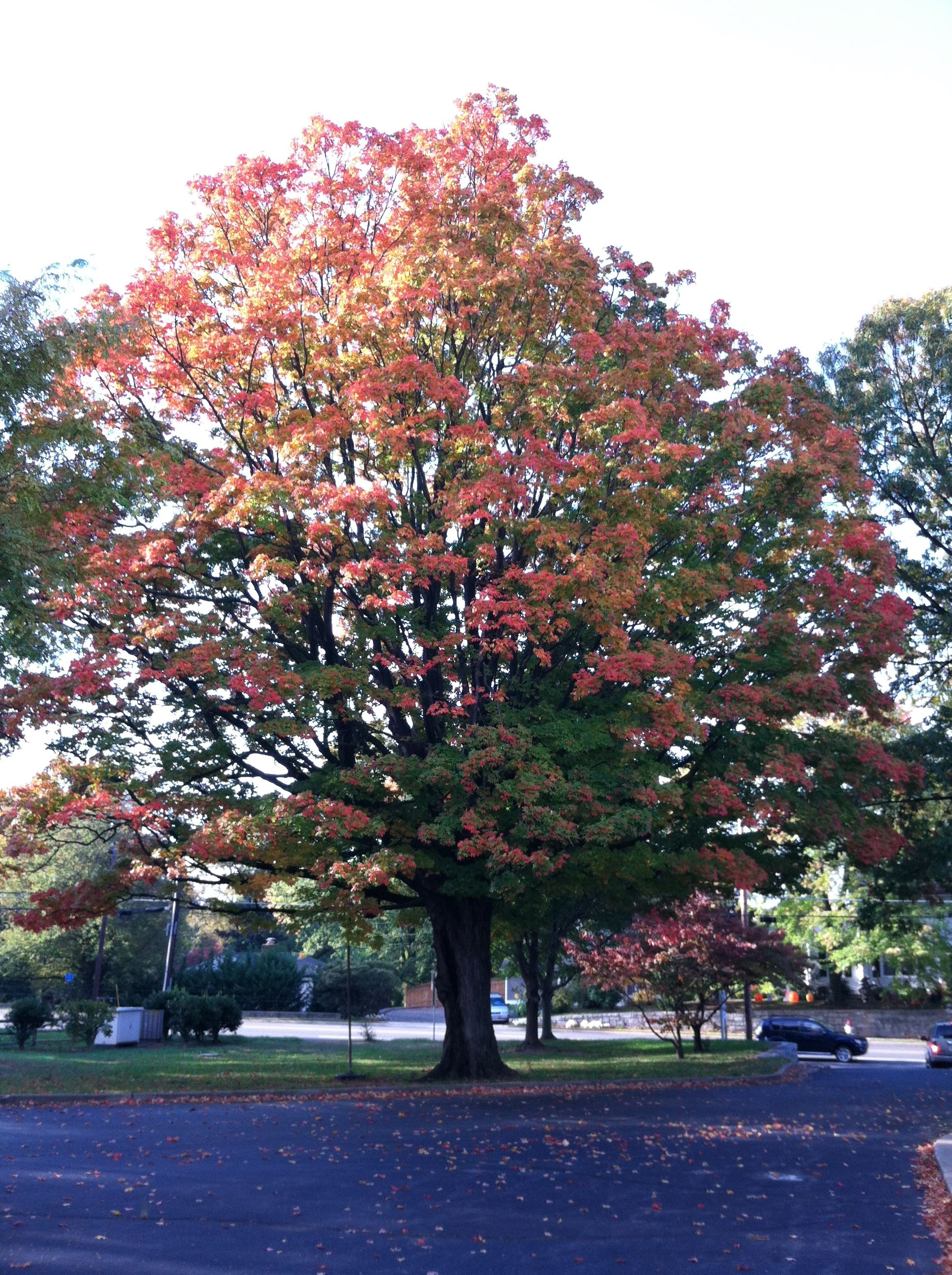 Specimen tree 6290 (513 E-Broad)